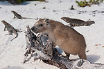 Gardens of the Queen, Cuba; a Desmarest's Hutia (Capromys pilorides) or Cuban Hutia climbing on a piece of driftwood at the edge of a sandy beach, also known as tree rats