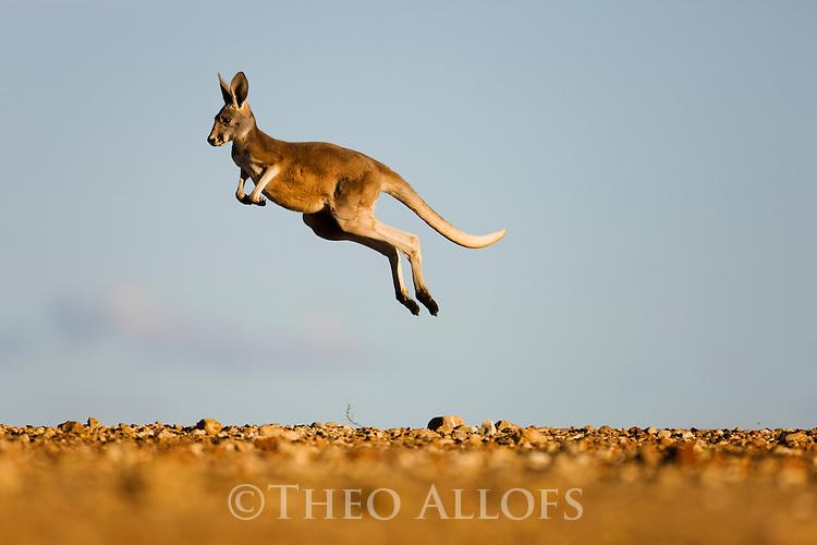 Image result for Kangaroo Jumping