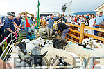 Sheep Shearing at the Castlemaine Vintage on Sunday