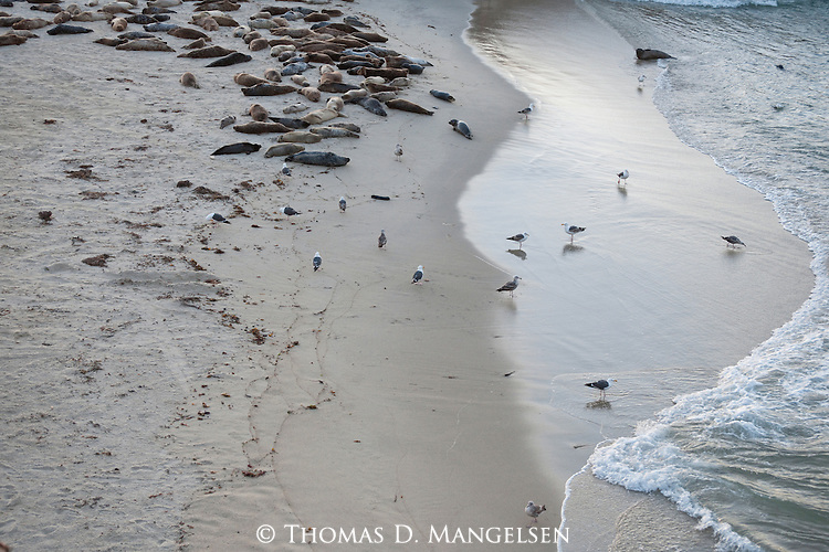 Gulls walk near harbor seals at the children's pool beach in La Jolla, California.