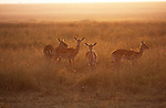 The golden sunlight of dawn backlights a small group of impalas standing on the Kenya savannah.