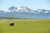 USA, Alaska, Homer, grizzly bear in the wide open landscape of the Katmai National Park, Katmai Peninsula, Gulf of Alaska