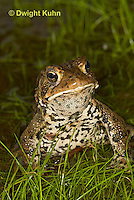 FR11-533z  American Toad Male singing for mate, Bufo americanus or Anaxyrus americanus