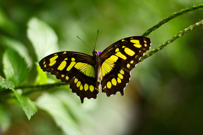 Malachite butterfly sits on a vine with its full-wing spread showing off its beautiful brilliant yellow-green markings agains a mult-green background.