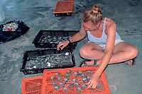 volunteeer sorts Kemp's ridley sea turtle hatchlings, Lepidochelys kempii, for immediate release or extended care, Rancho Nuevo, Mexico, Gulf of Mexico, Caribbean Sea, Atlantic Ocean