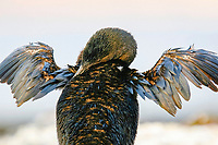 flightless cormorant, or Galapagos cormorant, Phalacrocorax harrisi, drying its wings, endemic species which has lost the ability to fly as there are no predators in the islands to prey on it, Galapagos Islands, Ecuador. This Galapagos endemic cormorant, bird,.