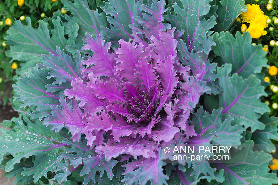 """Ornamental kale, or flowering kale, a purple and green leafed plant with serrated or fringed leaf margins, more specifically """"fringed leaved cultivars"""" with ruffled leaves, with yellow chrysanthemums"""