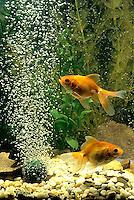 SS04-010x  Bubbles Fan Tailed Goldfish
