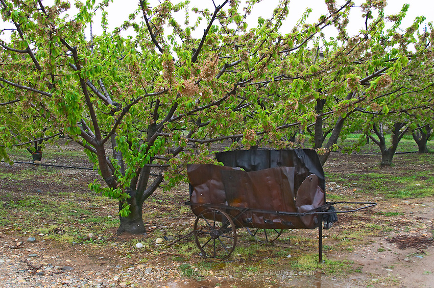 An apricot fruit tree and a wheel barrow made from an old oil barrel used for burning twigs and branches in the vineyard when pruning. Domaine Gilles Robin, Les Chassis, Mercurol, Drome, Drôme, France, Europe