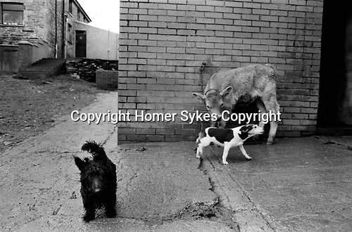 Puppy Farming Wales 1989. A Scottie and Jack Russell Terier.