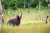 USA, Alaska, grizzly bear in forest, Redoubt Bay