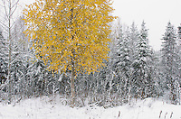 The colors of autumn and winter collide during an October snowstorm in Kenai, Alaska.