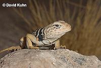 0612-1013  Great Basin Collared Lizard (Mojave Black-collared Lizard), Mojave Desert, Crotaphytus bicinctores  © David Kuhn/Dwight Kuhn Photography