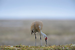 "An adult ""Lesser"" Sandhill Crane (Grus canadensis canadensis) inspecting its nest. Yukon Delta National Wildlife Refuge, Alaska. June."