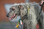 © Joel Goodman - 07973 332324 . 13/03/2016 . Manchester , UK . An Irish Wolfhound leading the parade .  The St Patrick's Day Parade , celebrating the Irish Community , through Manchester City Centre , in the Spring sunshine . Photo credit : Joel Goodman