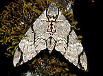 Moth, sp. unknown, Sabah Borneo, hawk moth .Borneo....