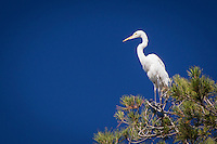 High atop a tree, a Great egret with its characteristic S-curved neck surveys its territory.