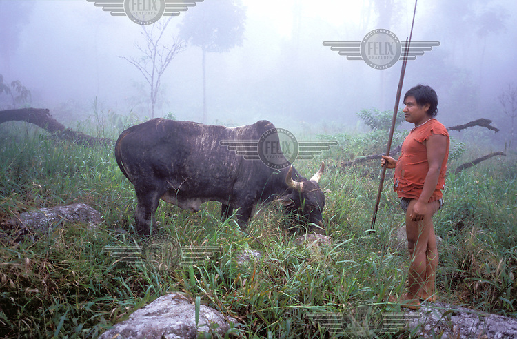 © Paul Smith / Panos Pictures..COLOMBIA..U'wa people, one of the world's oldest and remotest tribes. A hunter encounters a cow in the jungle.