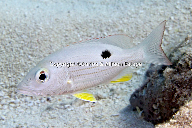 Lutjanus mahogoni, Mahogany snapper, Florida Keys