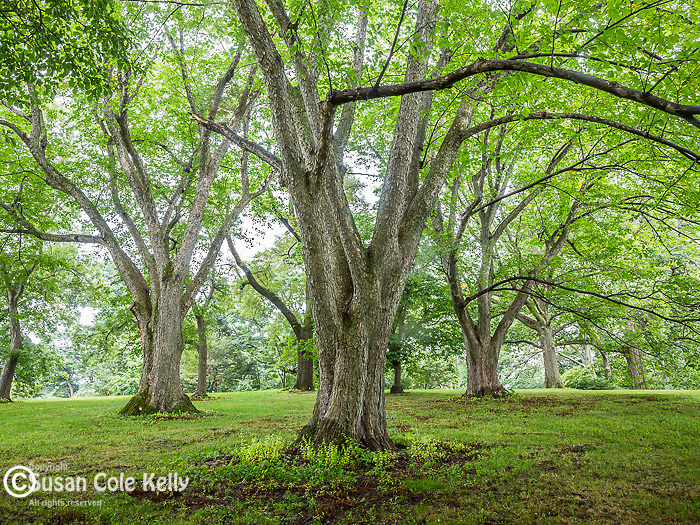 Elm trees at the Arnold Arboretum in the Jamaica Plain neighborhood, Boston, Massachusetts, USA
