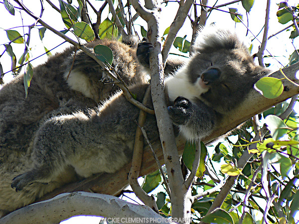 A koala lays back and enjoys a break.  Australian koalas sleep a lot to conserve energy.