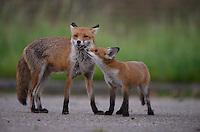 Urban fox, London, United Kingdom