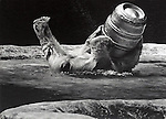 A Polar Bear playing with a beer barrel in his enclosure at the Bronx Zoo in October of 1973.  Photo copyright property of Jim Peppler/1973. All Rights Reserved.