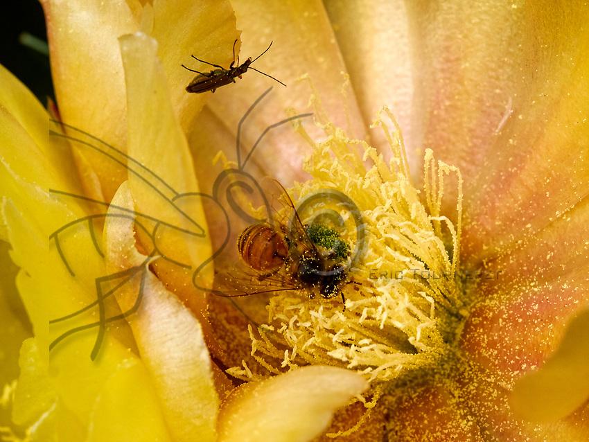 A bee in a prickly pear cactus flower gathers the pollen. The bee brushes its head and the front of its thorax with its front legs and makes the grains stick with a bit of honey. The pollen is transferred to the middle legs then on to be stored on the back legs.<br /> Une abeille dans une fleur de figuier de barbarie r&eacute;colte du pollen. L&rsquo;abeille se brosse la t&ecirc;te, l&rsquo;avant du thorax avec ses pattes ant&eacute;rieures et englue les grains avec un peu de miel. Le pollen est alors transf&eacute;r&eacute; sur les pattes m&eacute;dianes puis stocker sur les pattes post&eacute;rieures.