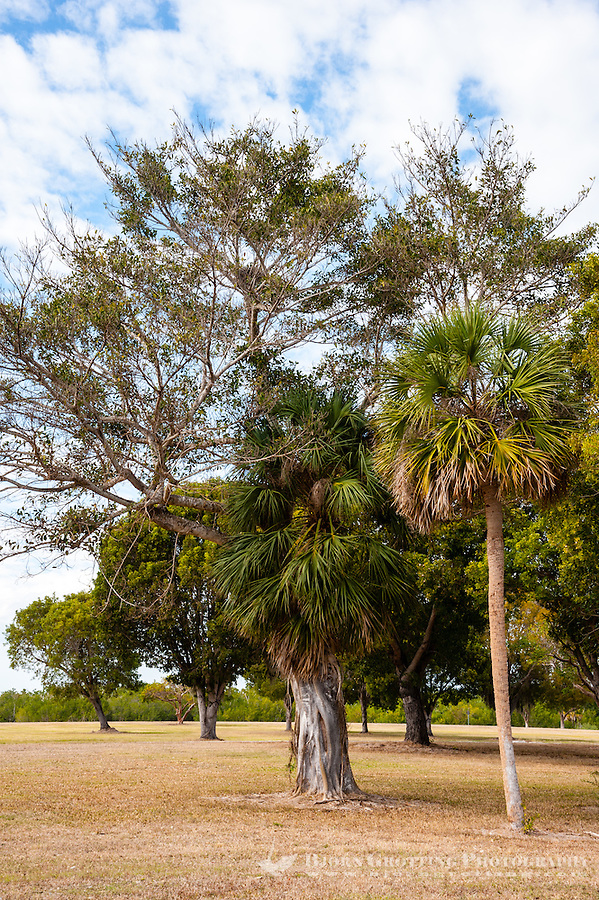 US, Florida, Everglades. Florida strangler fig on a host tree in Flamingo.