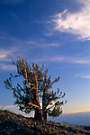Bristlecone Pine at sunset, Ancient Bristlecone Pine Forest, White Mountains, CALIFORNIA