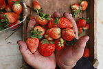 A Palestinian farmer shows freshly-picked strawberries at a farm in Beit Lahya in the northern Gaza Strip on February 14, 2018. Palestinians use Strawberries or a red gold as gifts in Valentine's Day, where people around the world celebrate on February 14 in World Valentine's Day. Photo by Mahmoud Ajour