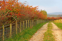 Autumn hedge with wire fence, Lancashire....Copyright John Eveson 01995 61280..j.r.eveson@btinternet.com