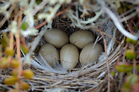 Eastern Yellow Wagtail (Motacilla tschutschensis) nest and eggs. Yukon Delta National Wildlife Refuge, Alaska. June.