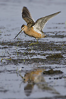 Long-billed Dowitcher wading in the mud