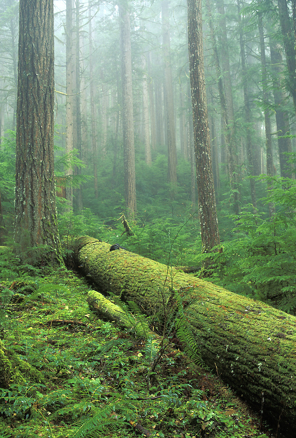 Moss covered fallen log in forest, Downey Creek Trail, Cascade Mountains, Washington