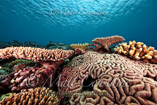 Brain coral and other colorful corals flourish in the clear blue waters around Yap Micronesia. (Photo by Matt Considine - Images of Asia Collection) (Matt Considine)