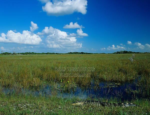 American Alligator, Alligator mississipiensis, adult sunning, Everglades National Park, Florida, USA, Dezember 1998