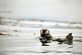 USA, Alaska, Sitka, an otter feeds in a kelp bed in the Sitka Sound