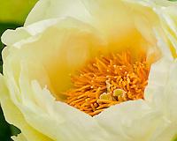Vashon, WA<br /> Peony blossom detail (Paeonia sp)