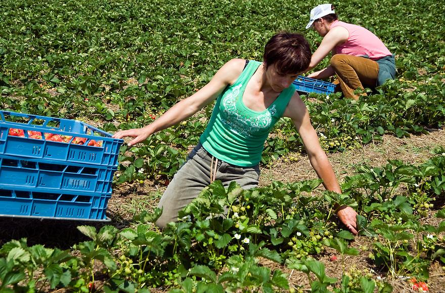 Nederland, Mierlo, 17 juni  2009.Aardbeien plukken bij biologische boer door poolse vrouwen..Foto (c) Michiel Wijnbergh