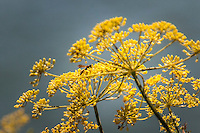 A wasp explores the yellow flowers of a sweet fennel plant along a path at the San Leandro Marina Park.