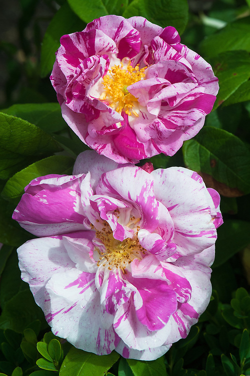 Rosa gallica 'Versicolor' (syn. Rosa mundi), late June. A small shrub of bushy, compact habit, with mid-green leaves and semi-double flowers to 7cm in width, blush-pink striped and spotted with crimson. Said to be named after Fair Rosamund, mistress of Henry II in the 12th century.
