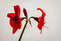 Two bright red  flowers on an amaryllis plant with a third yet to open.