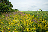 Conservation headlands - Norfolk, July