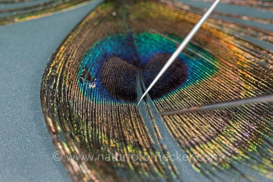 """Die Schwanzfeder, Feder von einem Pfau mit dem """"Auge""""  unter dem Binokular, Stereolupe, Lupe. Mit Präpariernadeln werden die einzelnen Äste der Feder auseinander gezogen, um die Bogenstrahlen und Hakenstrahlen bei stärkerer Vergrößerung sehen zu können"""