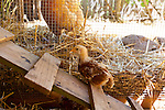 Chickens, baby chicks, and Chicken coop in the backyard of a Eugene, Oregon home