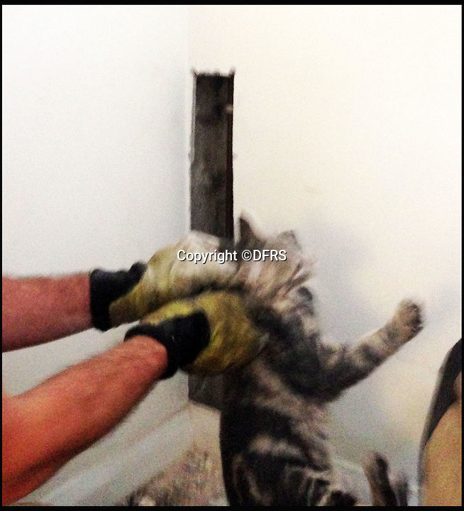 BNPS.co.uk (01202 558833)<br /> Pic: DFRS/BNPS<br /> <br /> The Firemen cut a second hole in the wall to retrieve the trapped moggie.<br /> <br /> A cat that got stuck behind a wall for 24 hours had to be rescued by firefighters with a special camera used to find people trapped in collapsed buildings.<br /> <br /> The Dorset and Wiltshire crew used a snake-eye camera to locate the mischievous moggy so they could cut a hole in the wall and get it out.<br /> <br /> The pet was covered in dust and very thirsty after its ordeal but still had his nine lives intact.<br /> <br /> It got into the wall cavity through a water mains access under the stairs of a ground floor block of flats in Dorchester, Dorset, and climbed about 6ft up the void behind the wall before getting stuck.