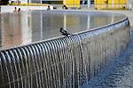Blackbird at fountain in San Francisco