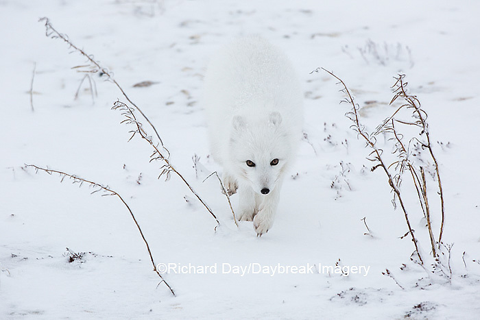 01863-01603 Arctic Fox (Alopex lagopus) in winter Churchil Wildlife Management Area Churchill, MB