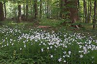 Große Sternmiere, Stern-Miere, Stern - Miere, Stellaria holostea, Stitchwort